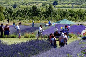 u-picking-lavender-604x402